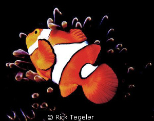 Nemo by Rick Tegeler 